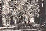 Elms trees lining Kendall Avenue, Bathurst