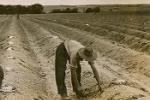 Harvesting asparagus, Bathurst
