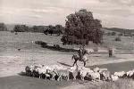 Sheep droving near Bathurst